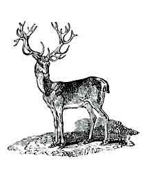 Ciervo. Por su cornamenta que renueva periódicamente, con frecuencia es comparado con el árbol de la vida, símboliza la fecundidad los ridmos de crecimiento y los renacimientos. Dibujo y adaptación de Ex libris personal sobre el original