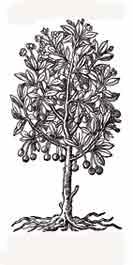 CEREZO. Para los Japoneses la flor del cerezo es simbolo de pureza y belleza.  Dibujo y adaptación de Ex libris personal sobre el original