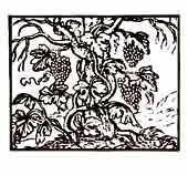AMISTAD POSMORTEM. De la colección de emblemas de Alciato. A un olmo seco por la vejez y desnudo de hojas, se ha abrazado una vid de espeso y verde follaje.  Dibujo y adaptación de Ex libris personal sobre el original